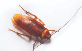 A Brief Guide to Identifying and Dealing with Cockroaches at Home